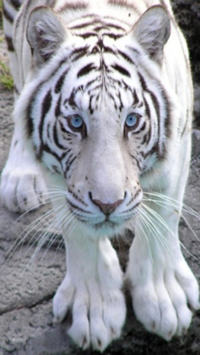 White Tiger Iphone Wallpaper Download White Tiger Iphone 628271 Hd Wallpaper Backgrounds Download