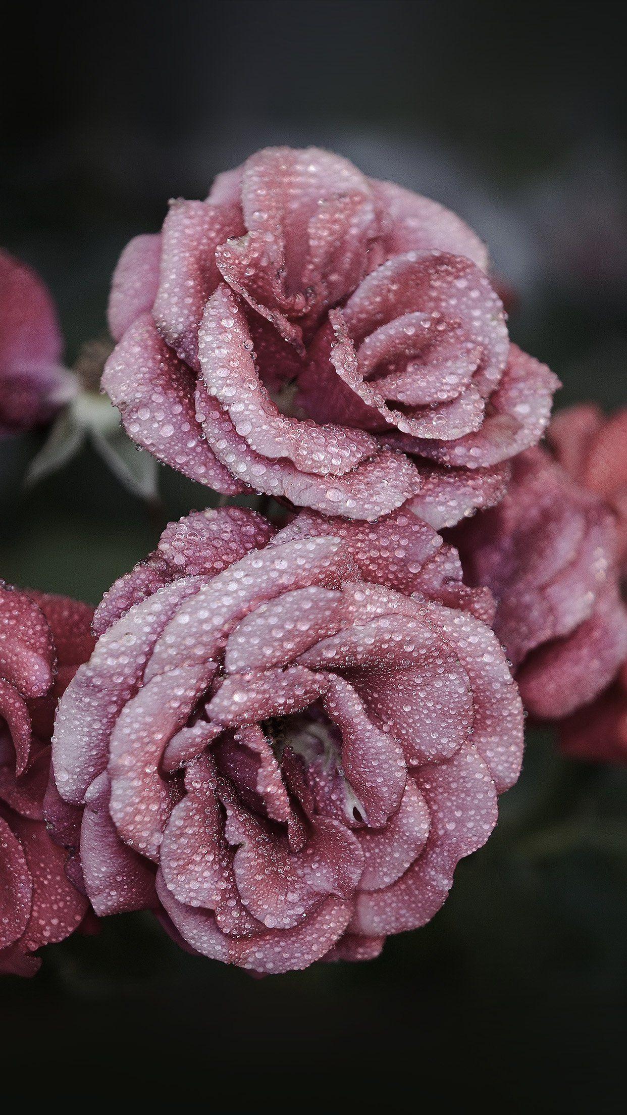 Cool Rose Pink Raindrop Flower Summer Nature Iphone6 - Iphone Xs Max Wallpaper Flowers , HD Wallpaper & Backgrounds