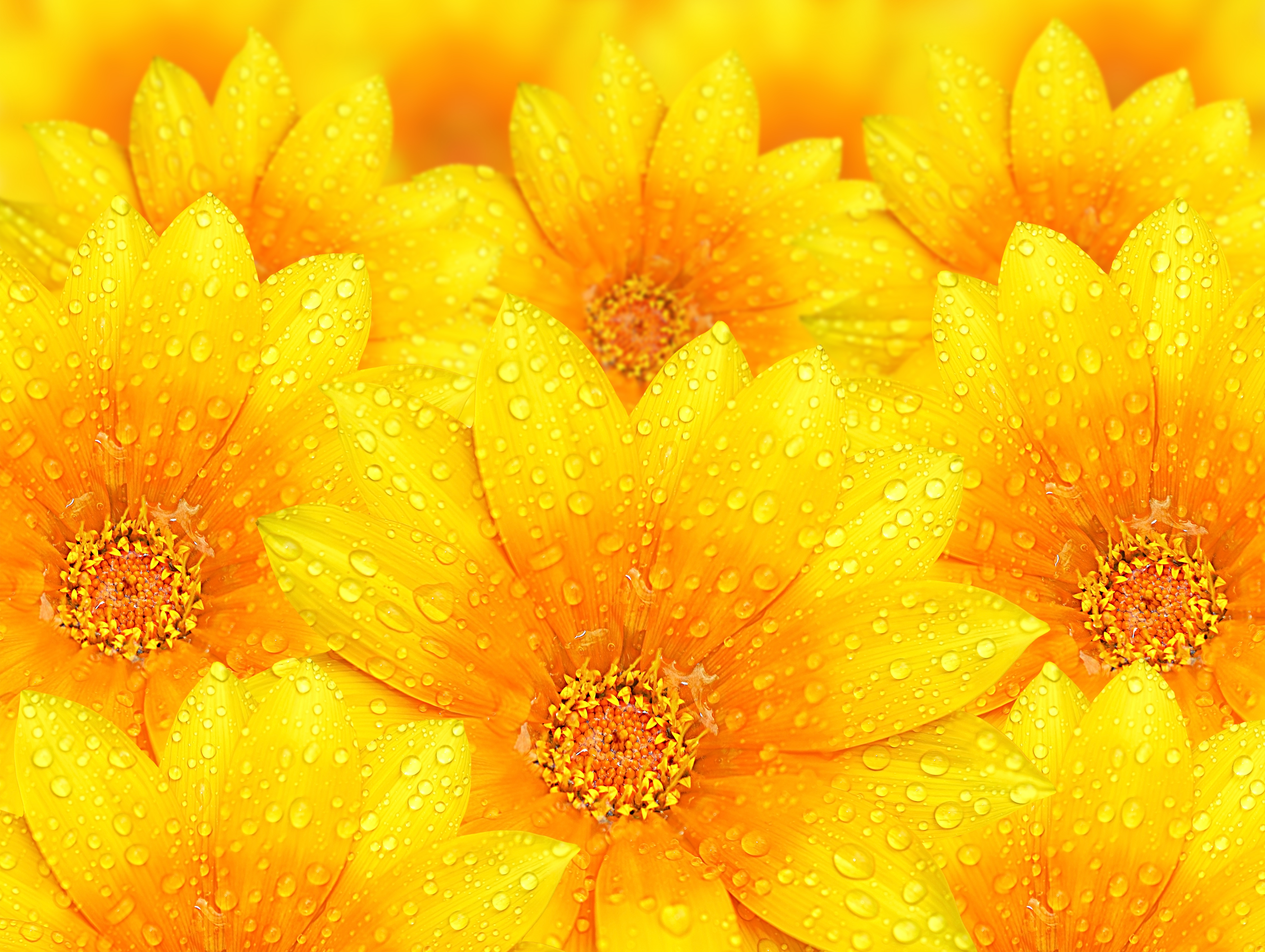 Water Droplets On Yellow Flowers Yellow Flower Background Hd 657296 Hd Wallpaper Backgrounds Download
