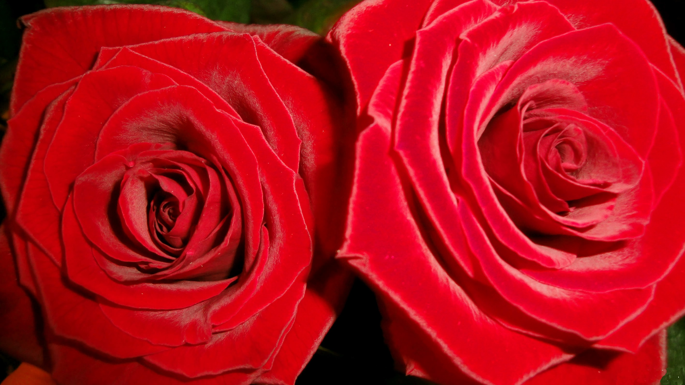 Flower Luiza Loved One Flowers Photography Roses Nature - Garden Roses , HD Wallpaper & Backgrounds
