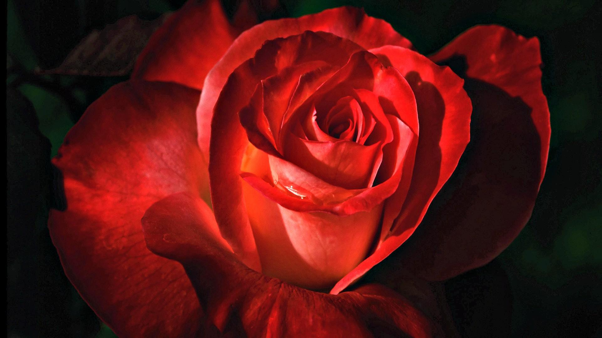 Day Macro Photography Beauty Red Flowers Valentines - Piękna Czerwona Róża , HD Wallpaper & Backgrounds