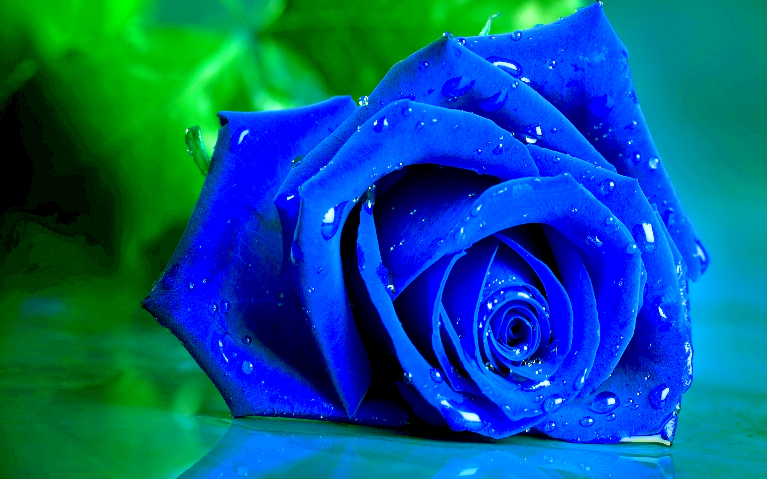 Blue Rose - Blue Roses With Water Drops , HD Wallpaper & Backgrounds