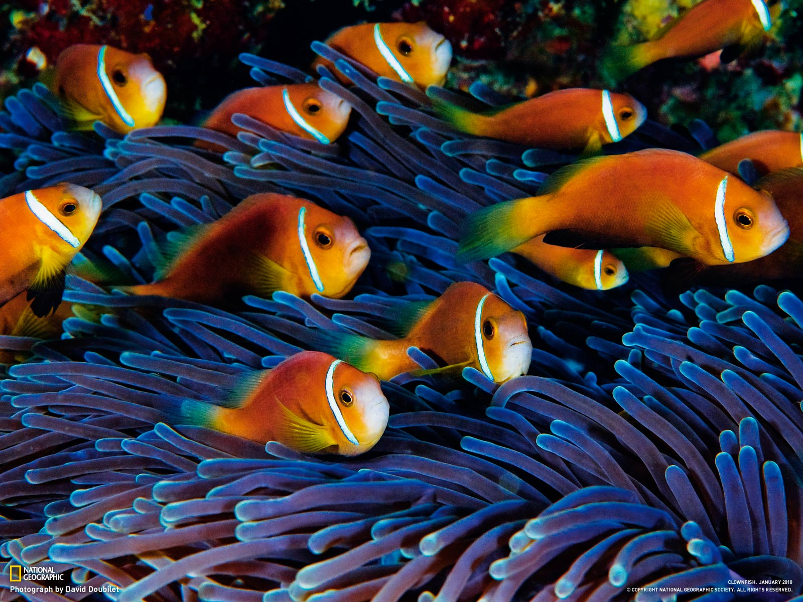 1200 In Nat Geo Wallpapers Red Sea Anemonefish Clown Fish