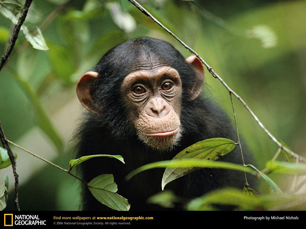 Chimpanzee Wallpaper Hd Chimpanzee Monkey 695843 Hd