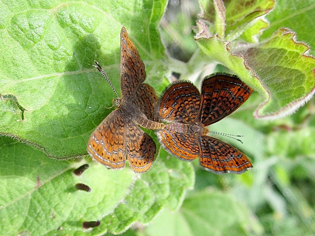 Par De Mariposas / Pair Of Butterflies - Brush-footed Butterfly , HD Wallpaper & Backgrounds