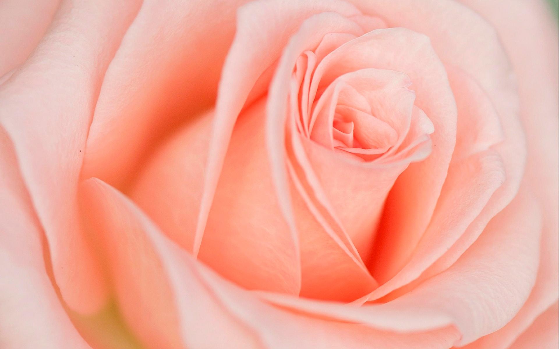 Beautiful Light Pink Rose - Light Pink And Orange Roses , HD Wallpaper & Backgrounds