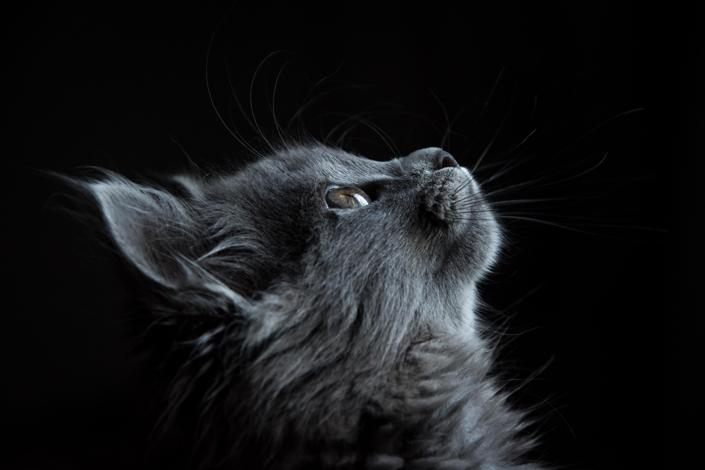 Kucing Moncong Profil Latar Belakang Hitam Cat With Black