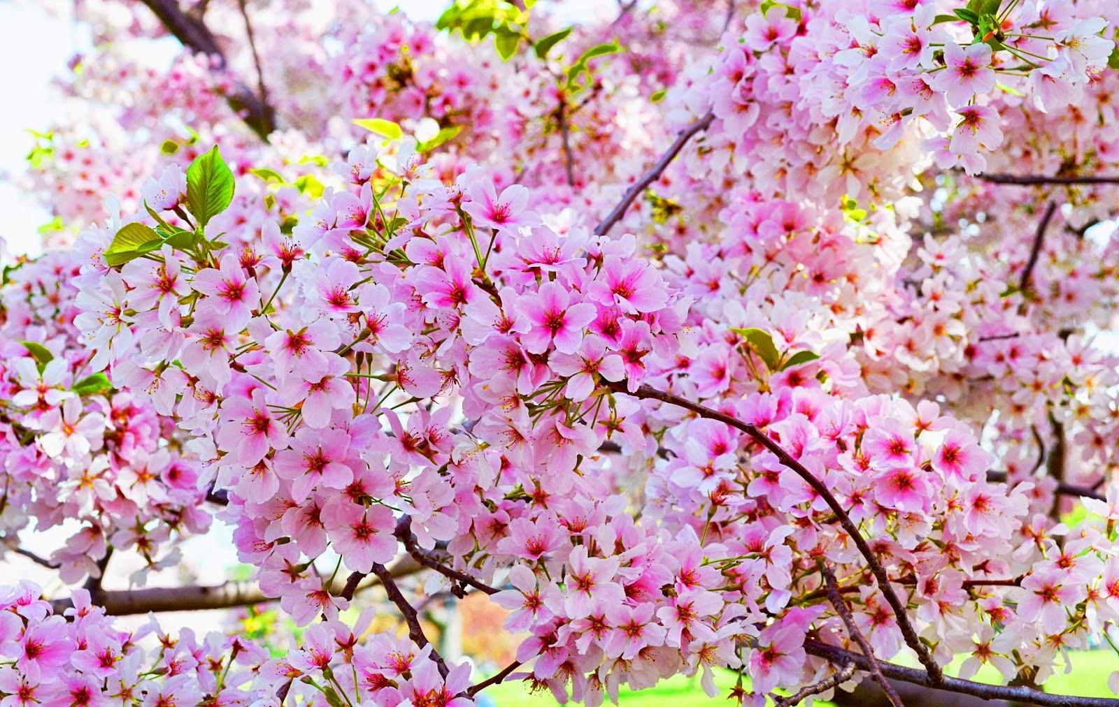 Gambar Kartun Pohon Sakura Bunga Sakura Merah Muda