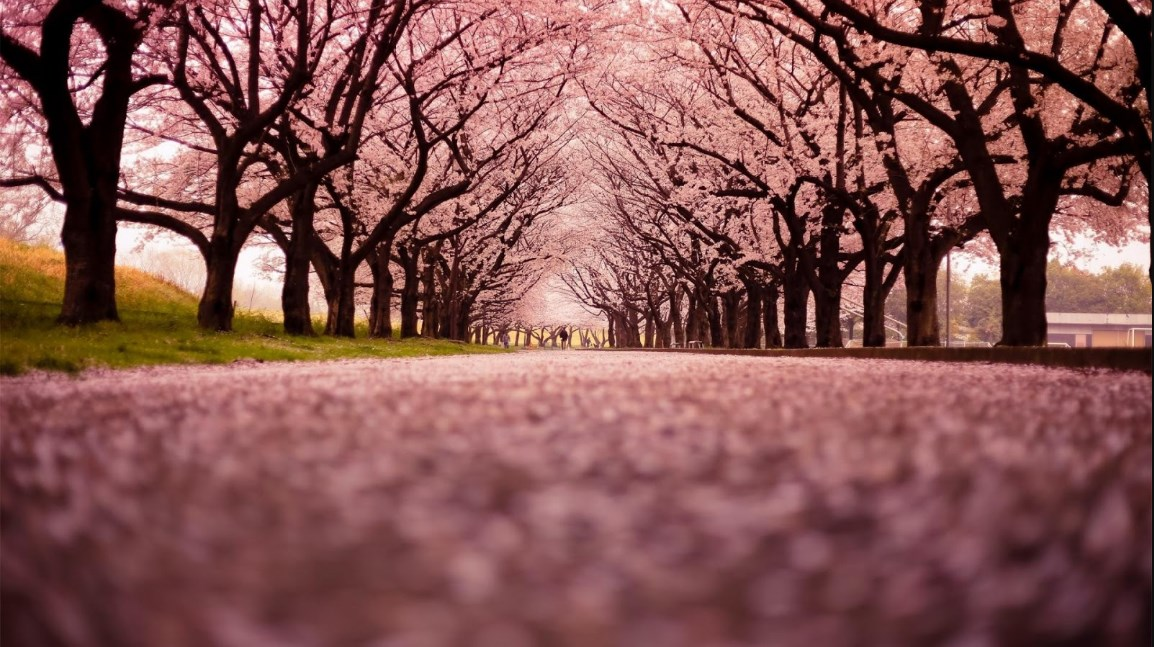 Gambar Wallpaper Bunga Sakura Sakura Tree Wallpaper 4k 733254 Hd Wallpaper Backgrounds Download