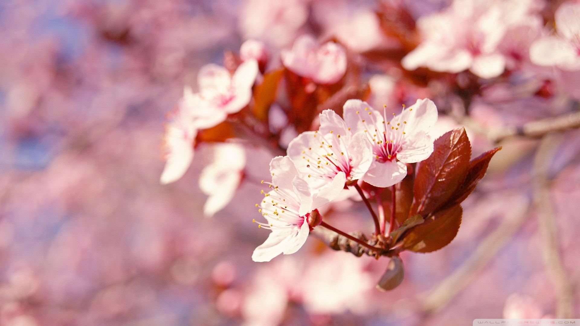 Pink Flowers Names And Pictures Japanese Cherry Blossom Tree Hd