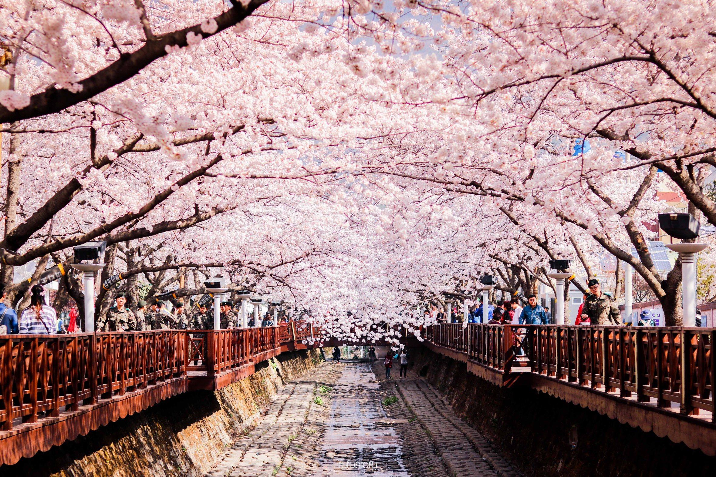 Bunga Sakura Di Korea HD Wallpaper & Backgrounds