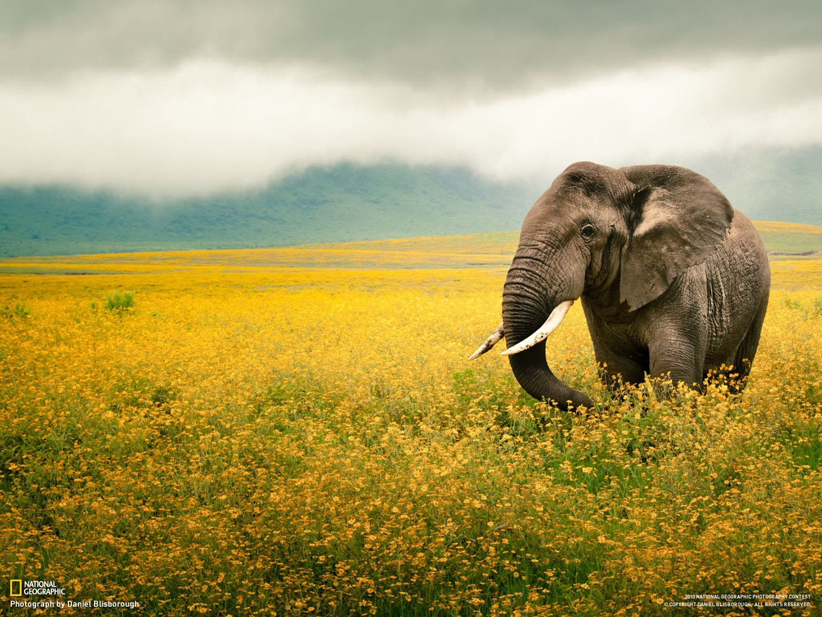 National Geographic Fields Animals Tanzania Elephants