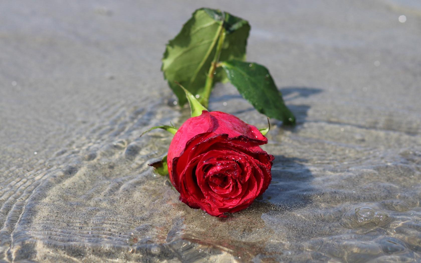 Wallpaper Rose Flower, Water, Flower - Water Rose , HD Wallpaper & Backgrounds