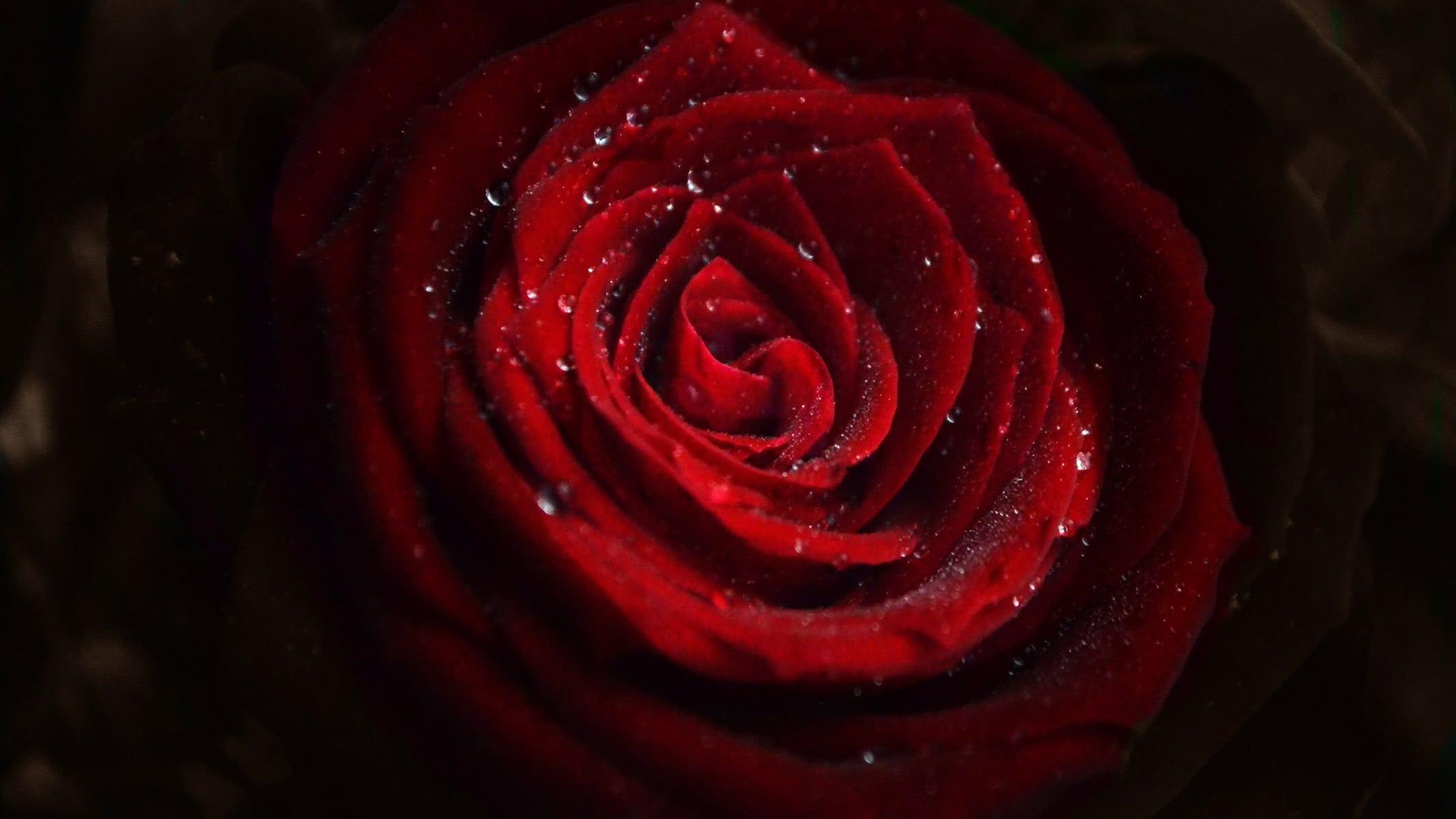 Rose Flower Water Drops - Rose Wallpaper Hd 4k , HD Wallpaper & Backgrounds