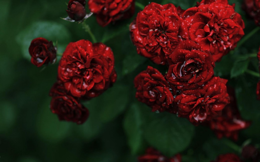 Flowers Rose Roses Red Small Bush Dew Drops Water - Red Flowers Facebook Cover , HD Wallpaper & Backgrounds
