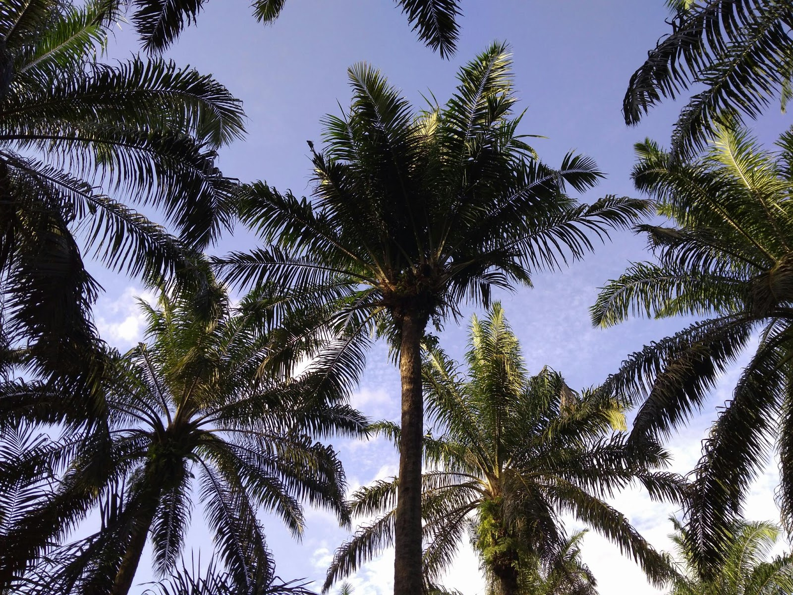 Pohon Kelapa Sawit Kembar Attalea Speciosa 734112 Hd