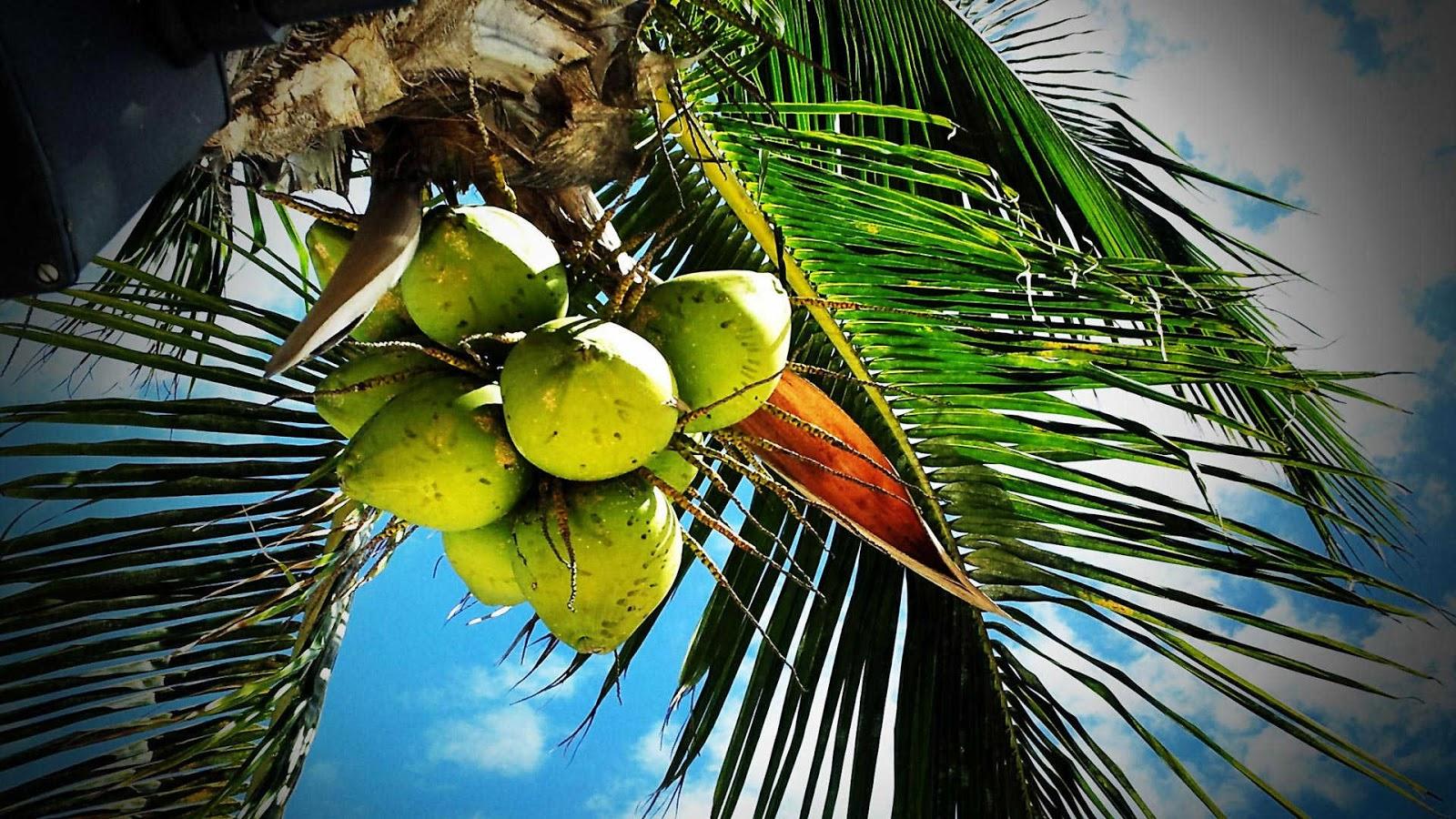 paling populer 11 gambar buah kelapa