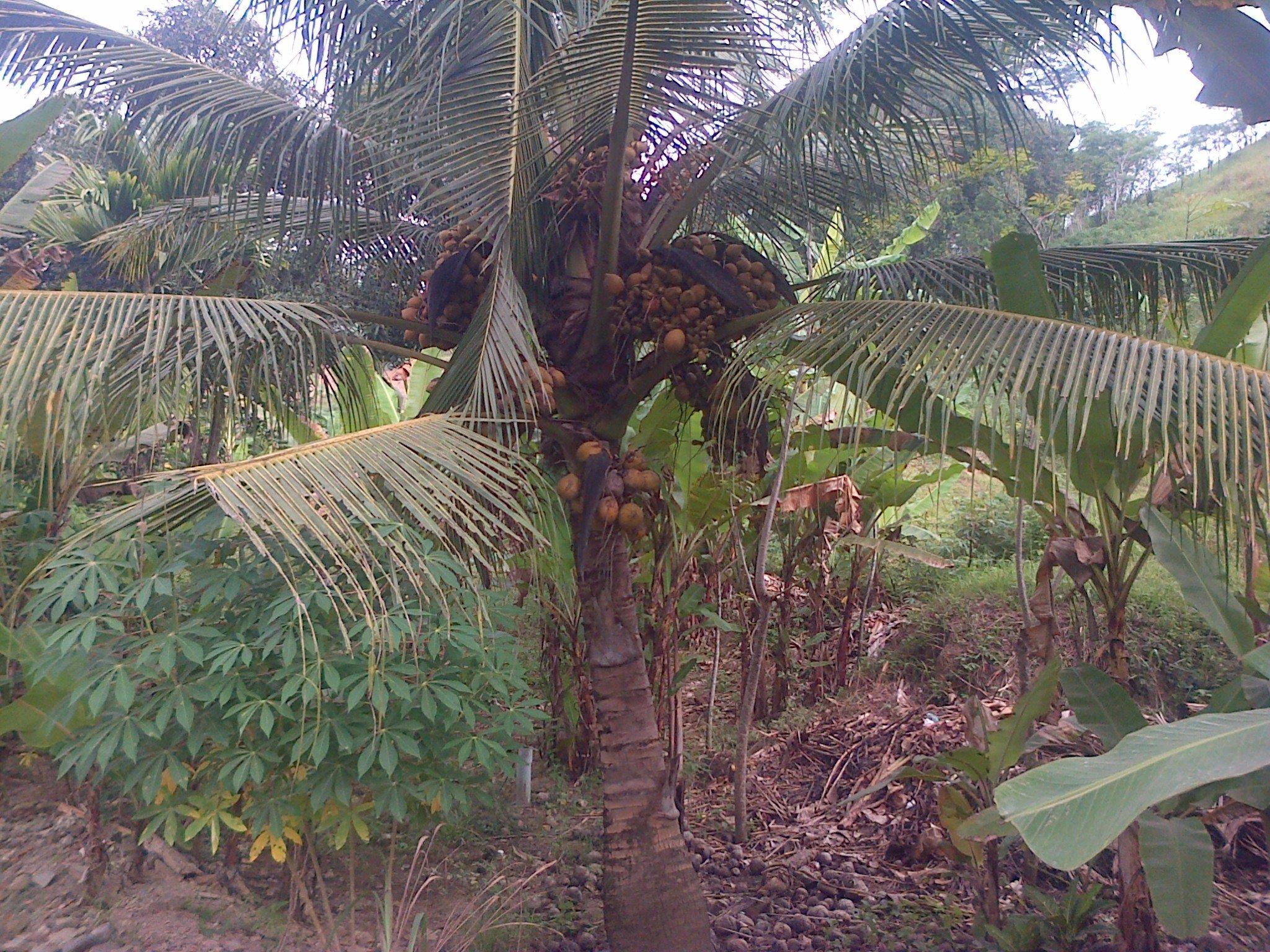 Buah Yang Besar Dari Pohon Kelapa 100 Itu Juga Jauh