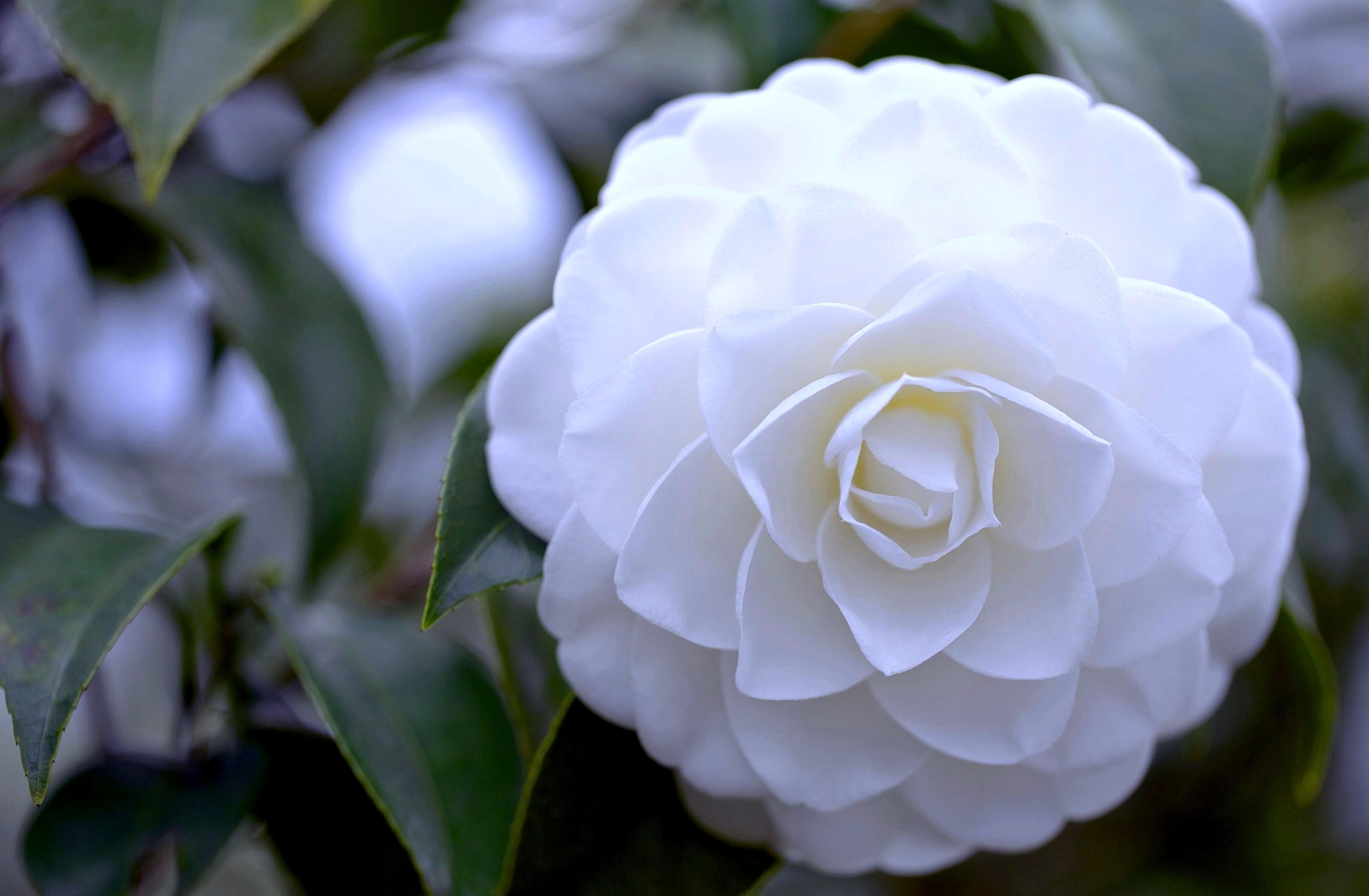 White Camellia Camelia Hd 740811 Hd Wallpaper Backgrounds