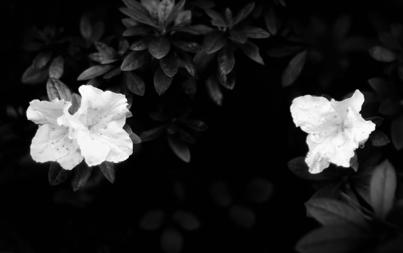 Camellia Wallpapers And Stock Photos Hd Black And White