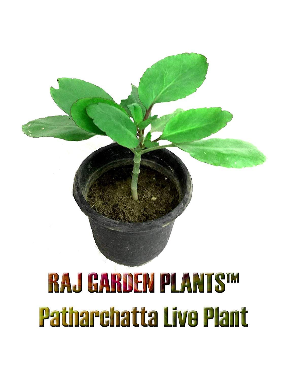 Buy Rookhraj Paudhshala Patharchatta Live Plant Kalanchoe - Bryophyllum Pinnatum , HD Wallpaper & Backgrounds