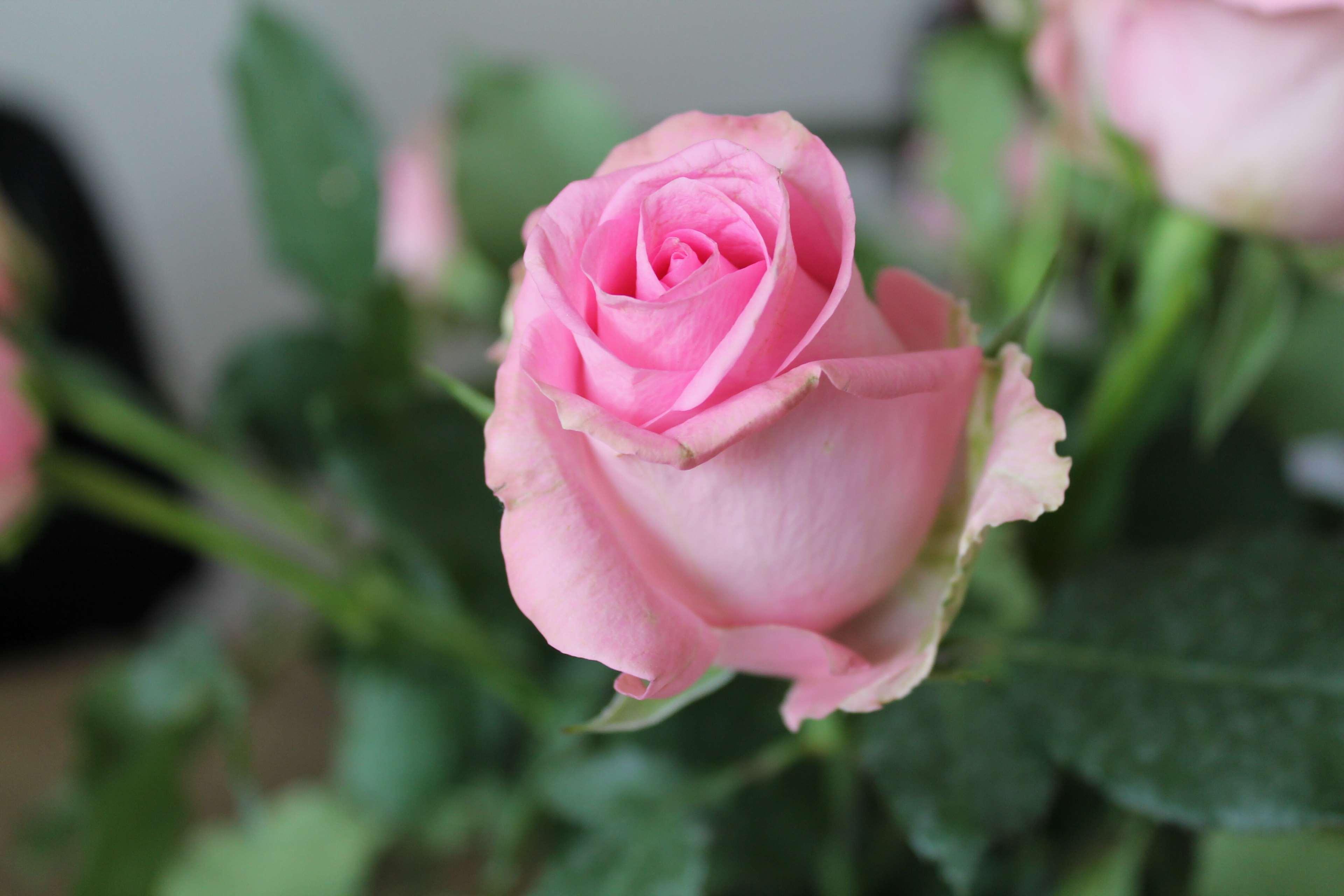 Flower, Flowers, Green, Leaves, Nature, Pink, Rose, - Pink Rose 4k , HD Wallpaper & Backgrounds