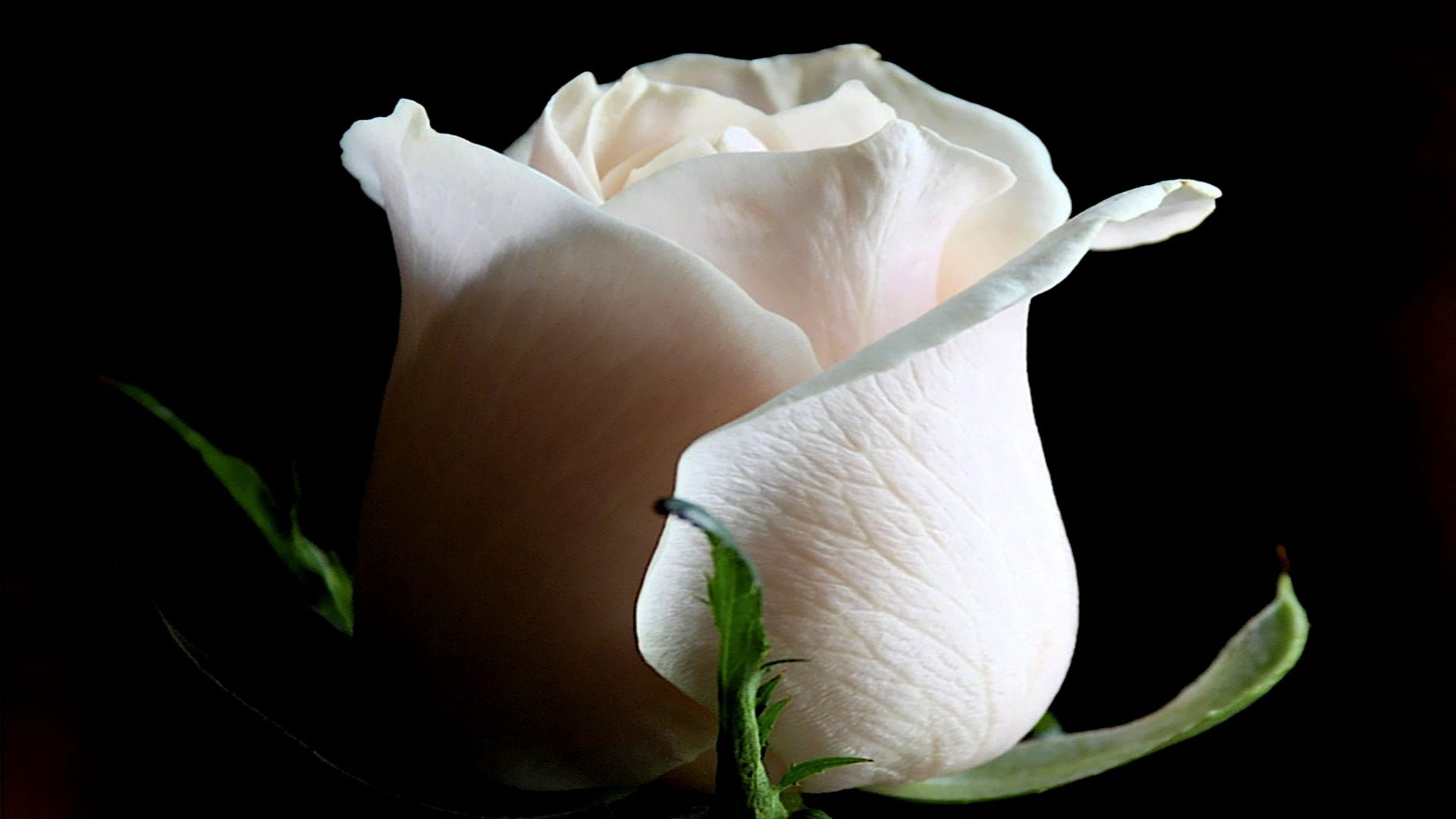 Purity Heart Romances Gorgeous Roses Caring Loving - Hd White Rose , HD Wallpaper & Backgrounds