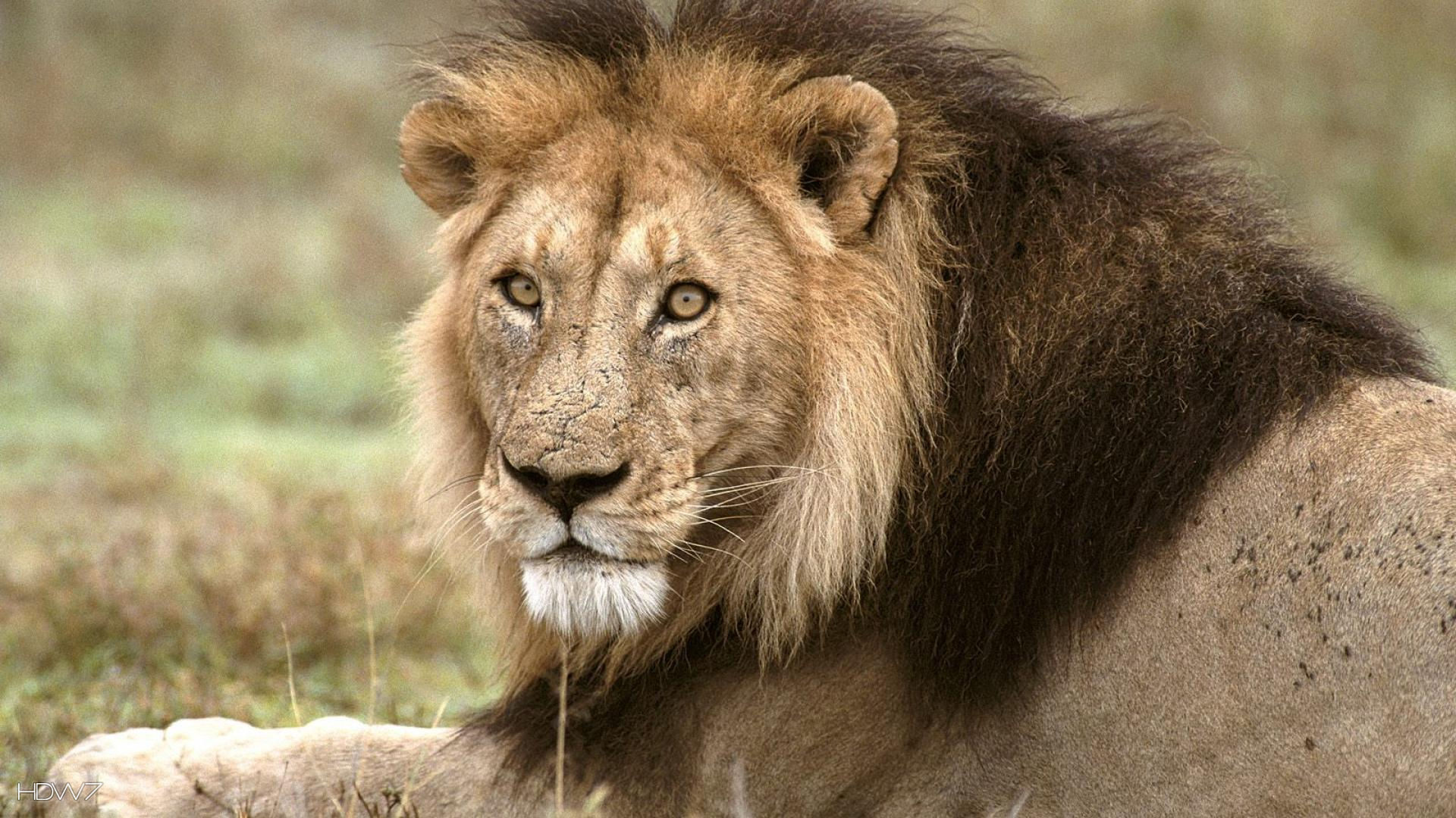 African Lion Tanzania Africa Full Hd - Lion In Deciduous Forest , HD Wallpaper & Backgrounds