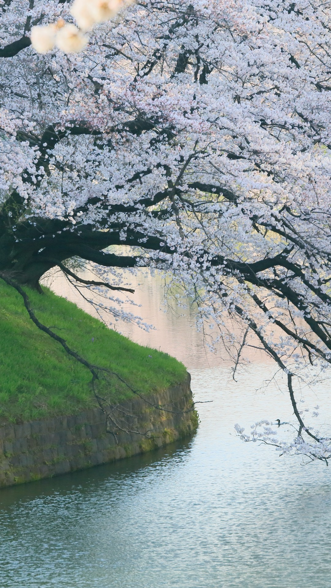 White Flowers, River, Spring, Beautiful Tree, Scenic - Beautiful Cherry Blossom Background , HD Wallpaper & Backgrounds