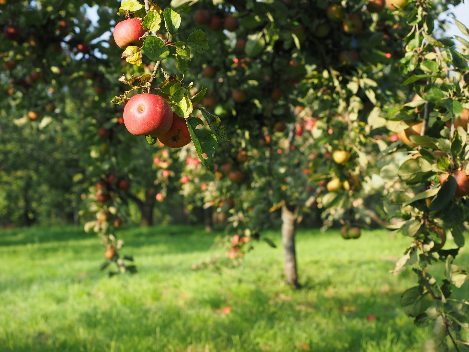 Apple Tree Garden , HD Wallpaper & Backgrounds