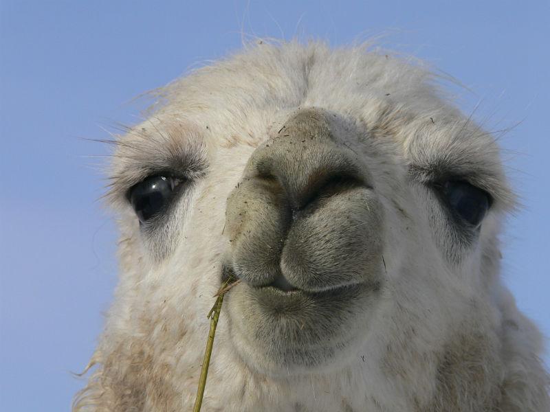 Differences Between Alpacas And Llamas Jacob Close Up