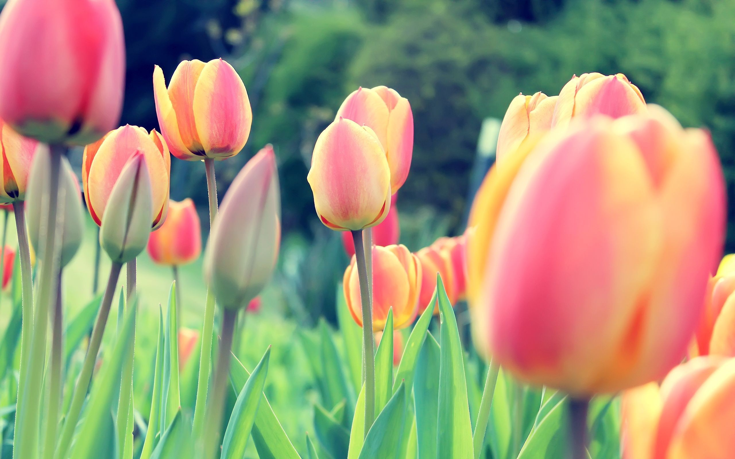Res - 1920x1200, - Tulips Wallpaper For Desktop , HD Wallpaper & Backgrounds