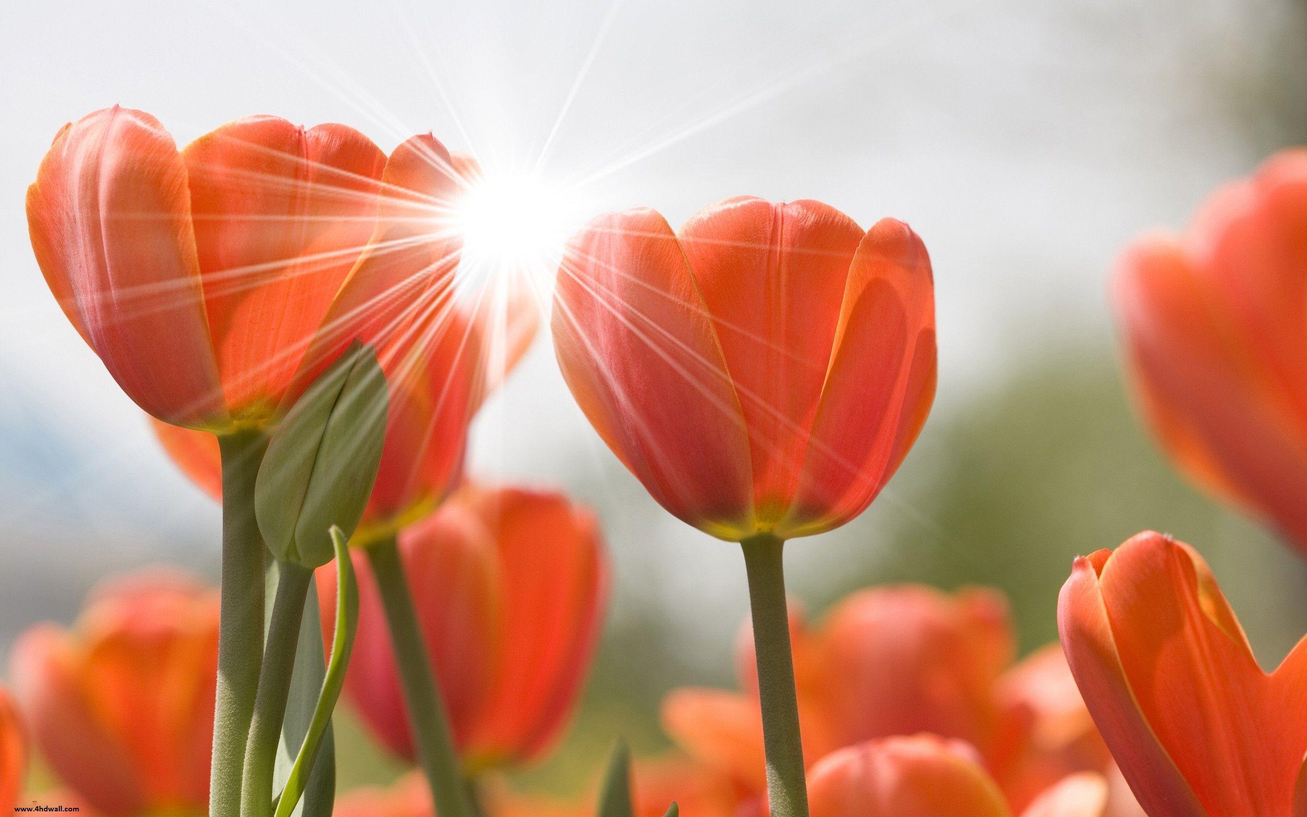 Tulips Wallpaper - Spring Tulips Wallpaper Hd , HD Wallpaper & Backgrounds
