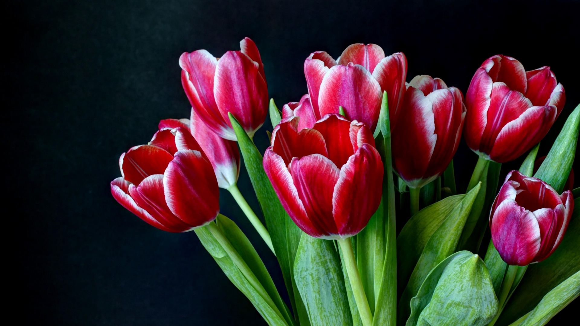 Dark Background And Tulips Hd Wallpaper - Tulip , HD Wallpaper & Backgrounds
