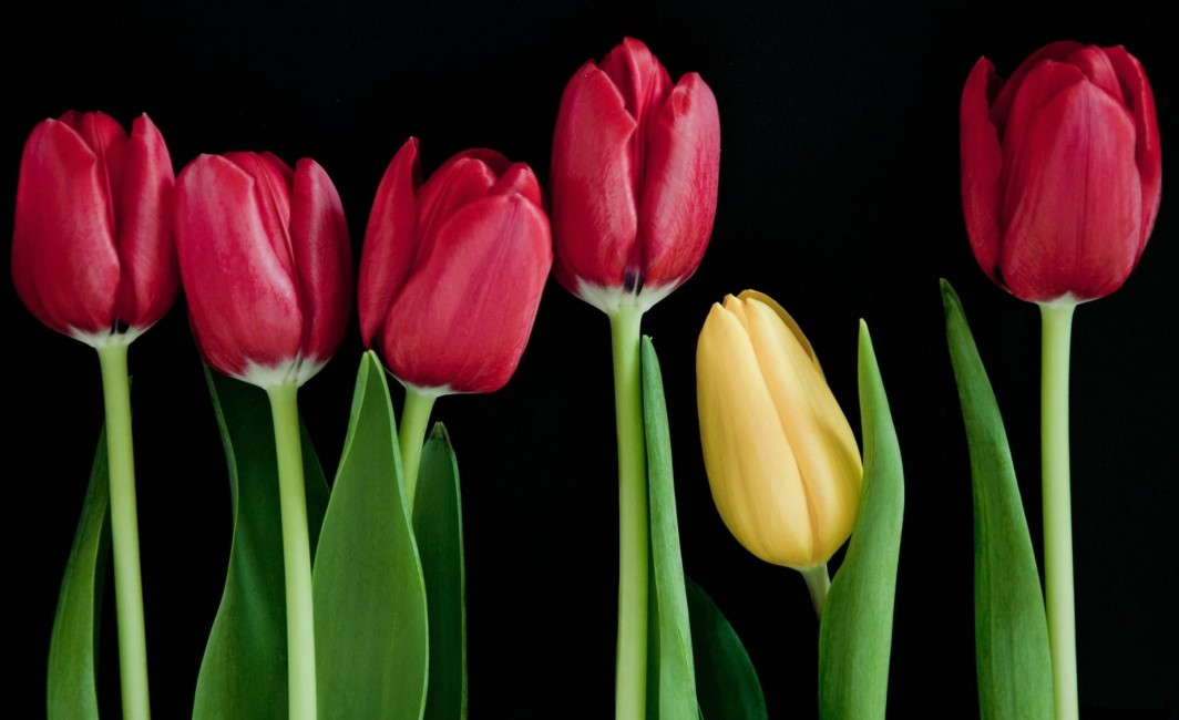 Tulips Flowers Buds Stems Number Black Background Tulips Flowers With Black Background 792866 Hd Wallpaper Backgrounds Download