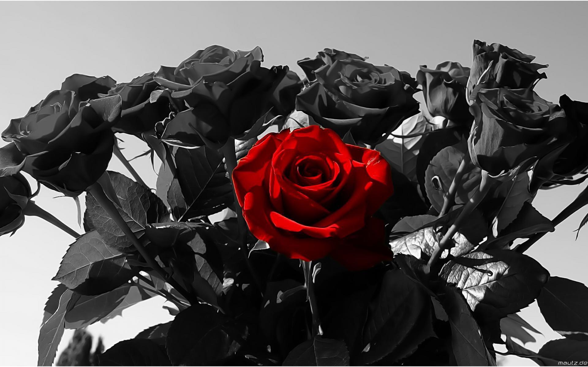 Black Rose Beautiful Black Rose Computer Wallpaper - Red Rose With Black Roses , HD Wallpaper & Backgrounds