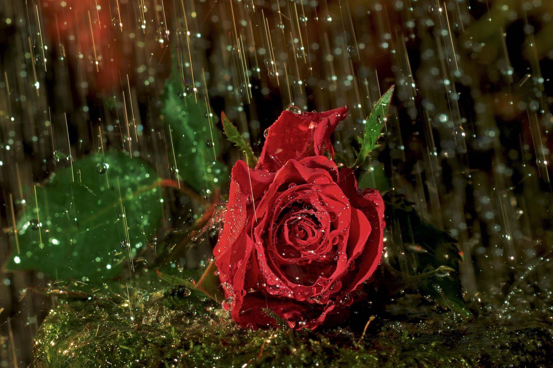 Beautiful Flower - Rainy Season Wallpaper Free Download , HD Wallpaper & Backgrounds