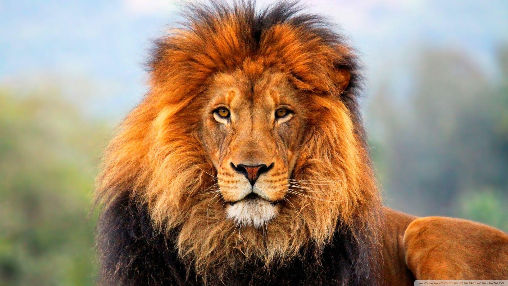 Lion ❤ 4k Hd Desktop Wallpaper For • Wide & Ultra Widescreen - Wildlife Heritage Foundation , HD Wallpaper & Backgrounds