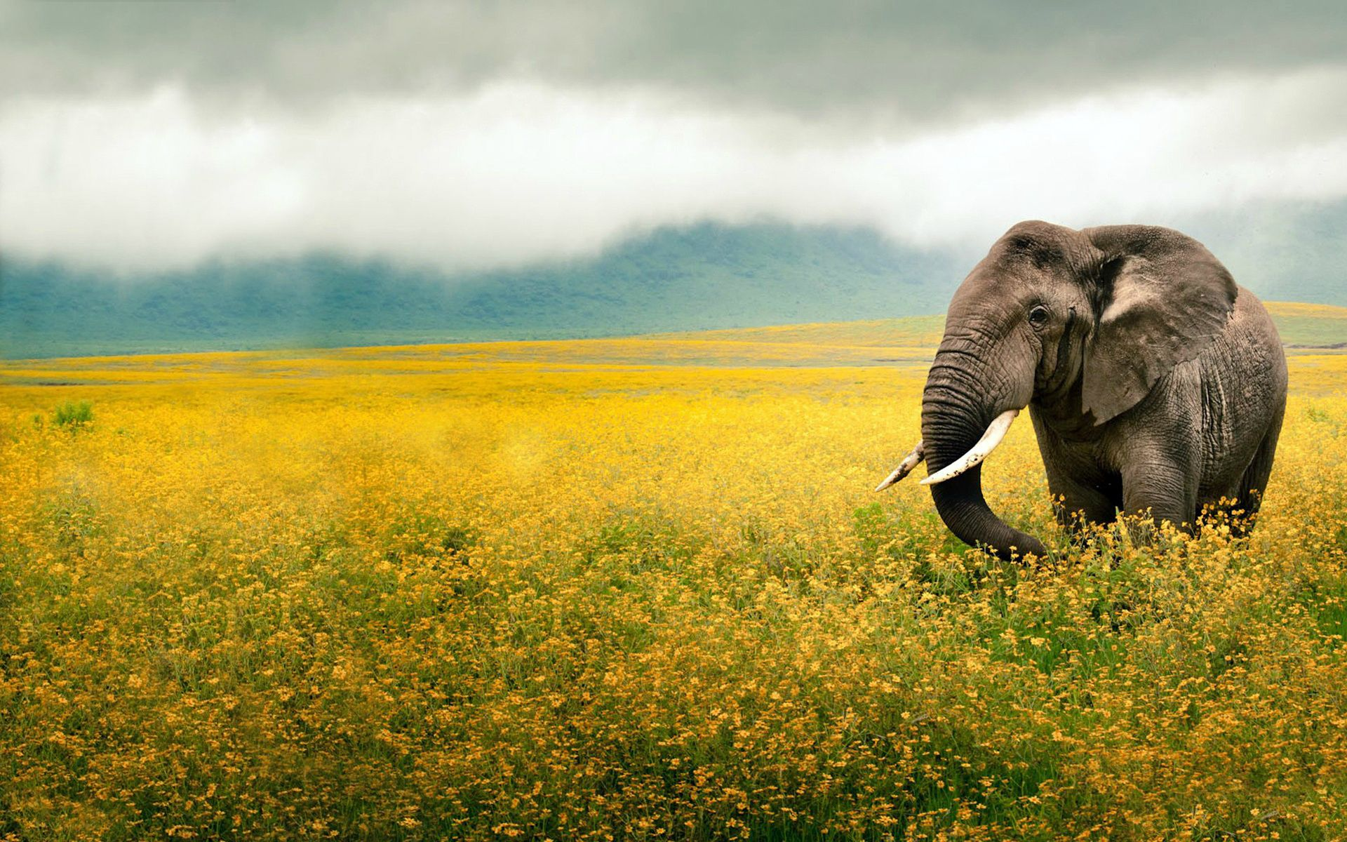 Elephant And Sunflower Background HD Wallpaper