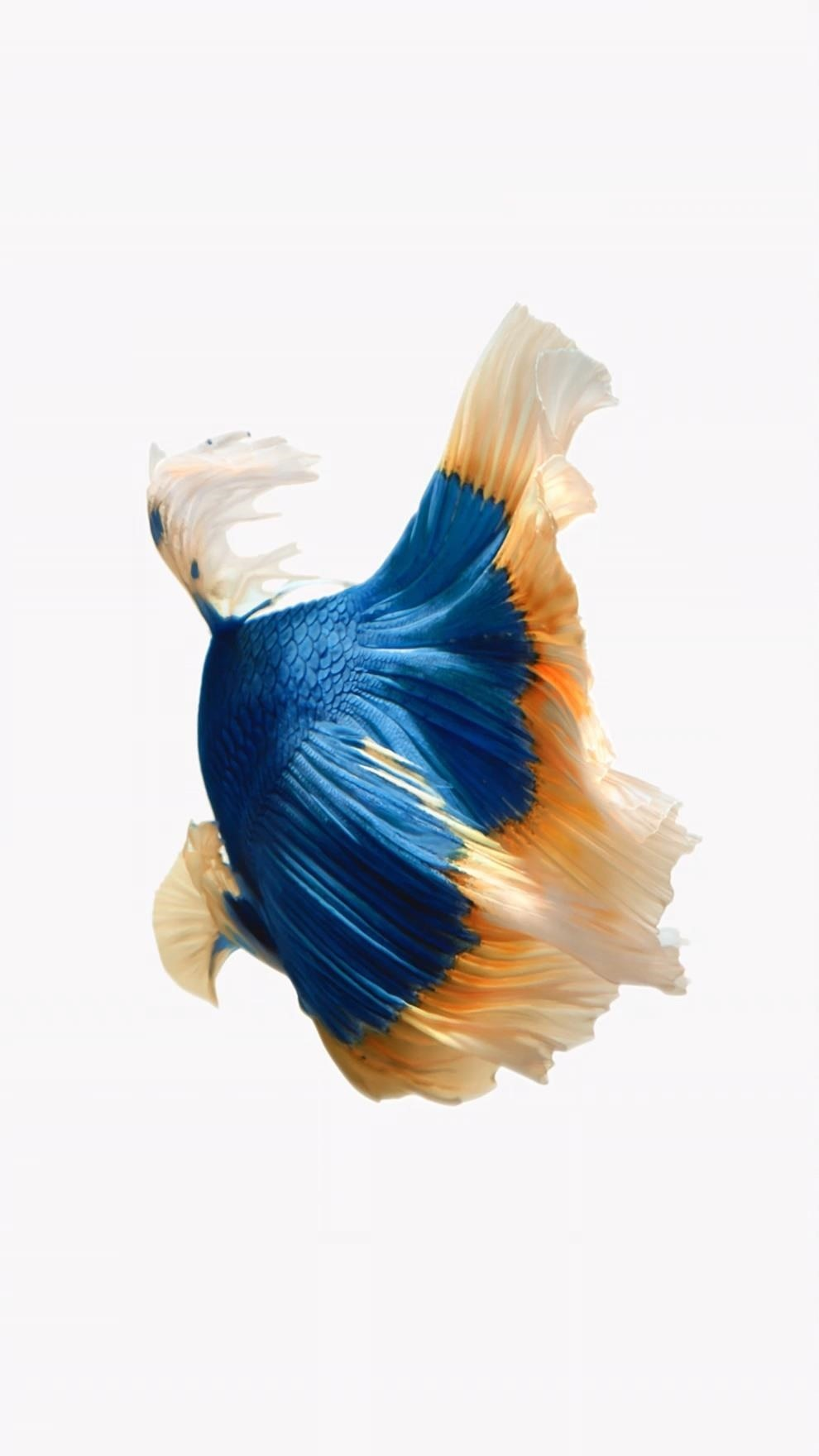 Blue/yellow Fish On Black Background - Iphone 7 Live Photo Gif , HD Wallpaper & Backgrounds
