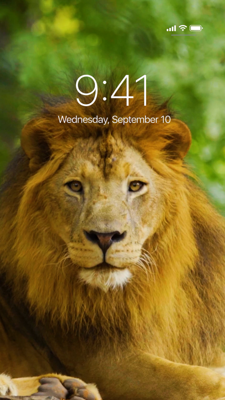 Incredible Live Wallpapers - Masai Lion , HD Wallpaper & Backgrounds