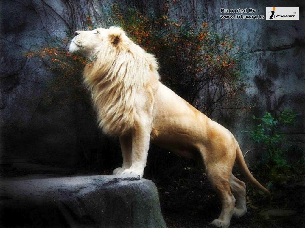Lion Phone Wallpaper - White Lion Wallpaper 3d , HD Wallpaper & Backgrounds