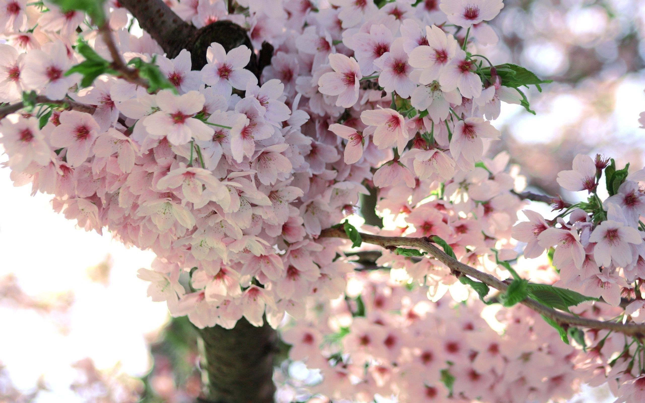 Cherry Blossom Background , HD Wallpaper & Backgrounds