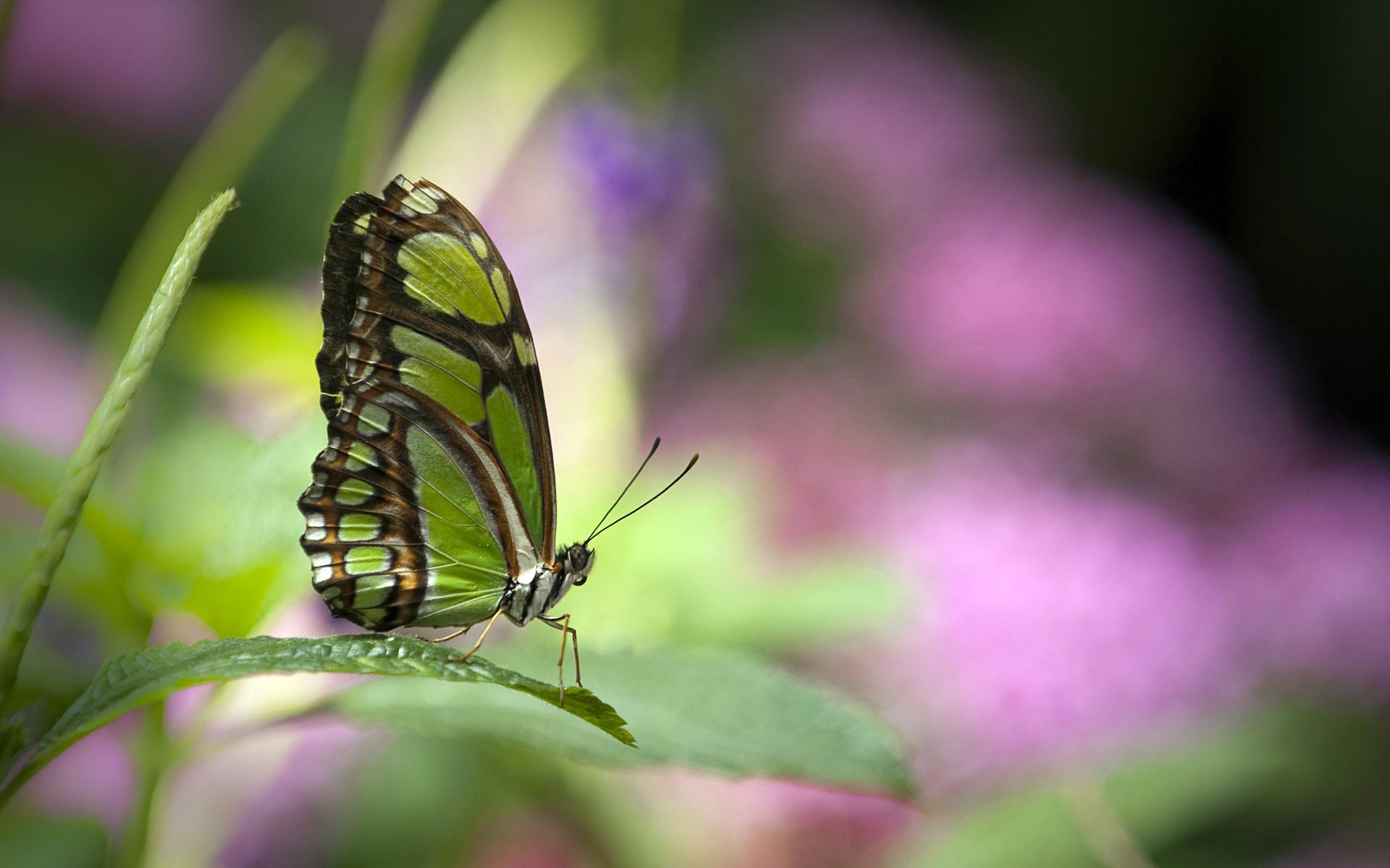 Free Butterfly Wallpaper Download - Green Butterflies On Flowers , HD Wallpaper & Backgrounds