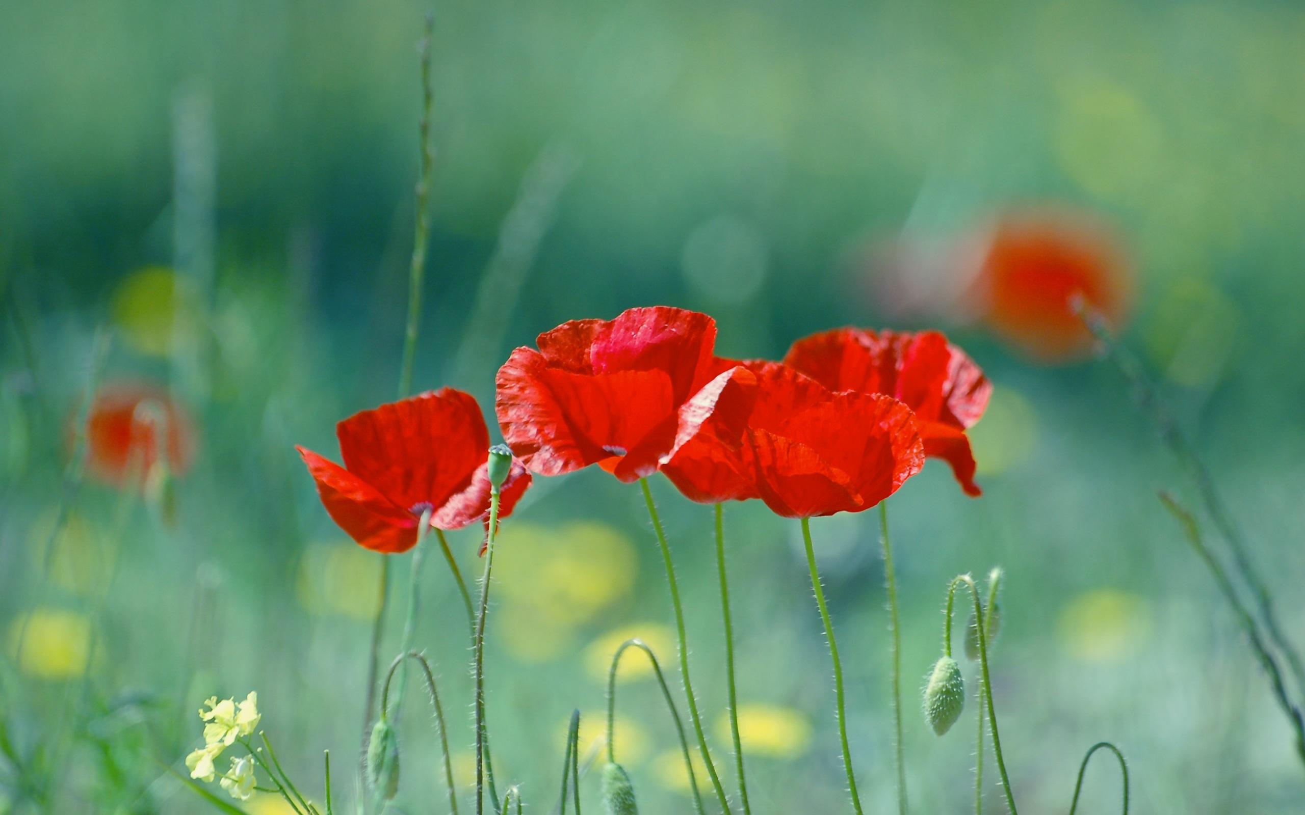 Flower Poppies , HD Wallpaper & Backgrounds