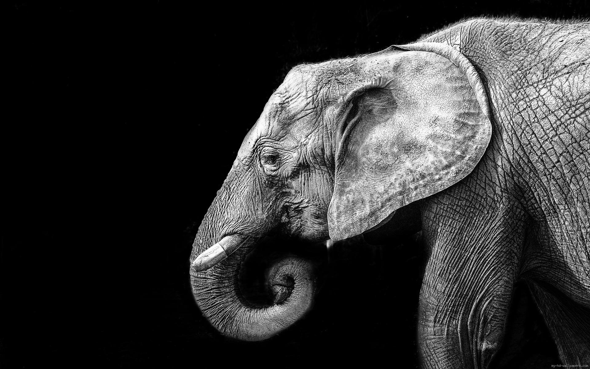 Elefante Wallpaper Black And White Elephant Background