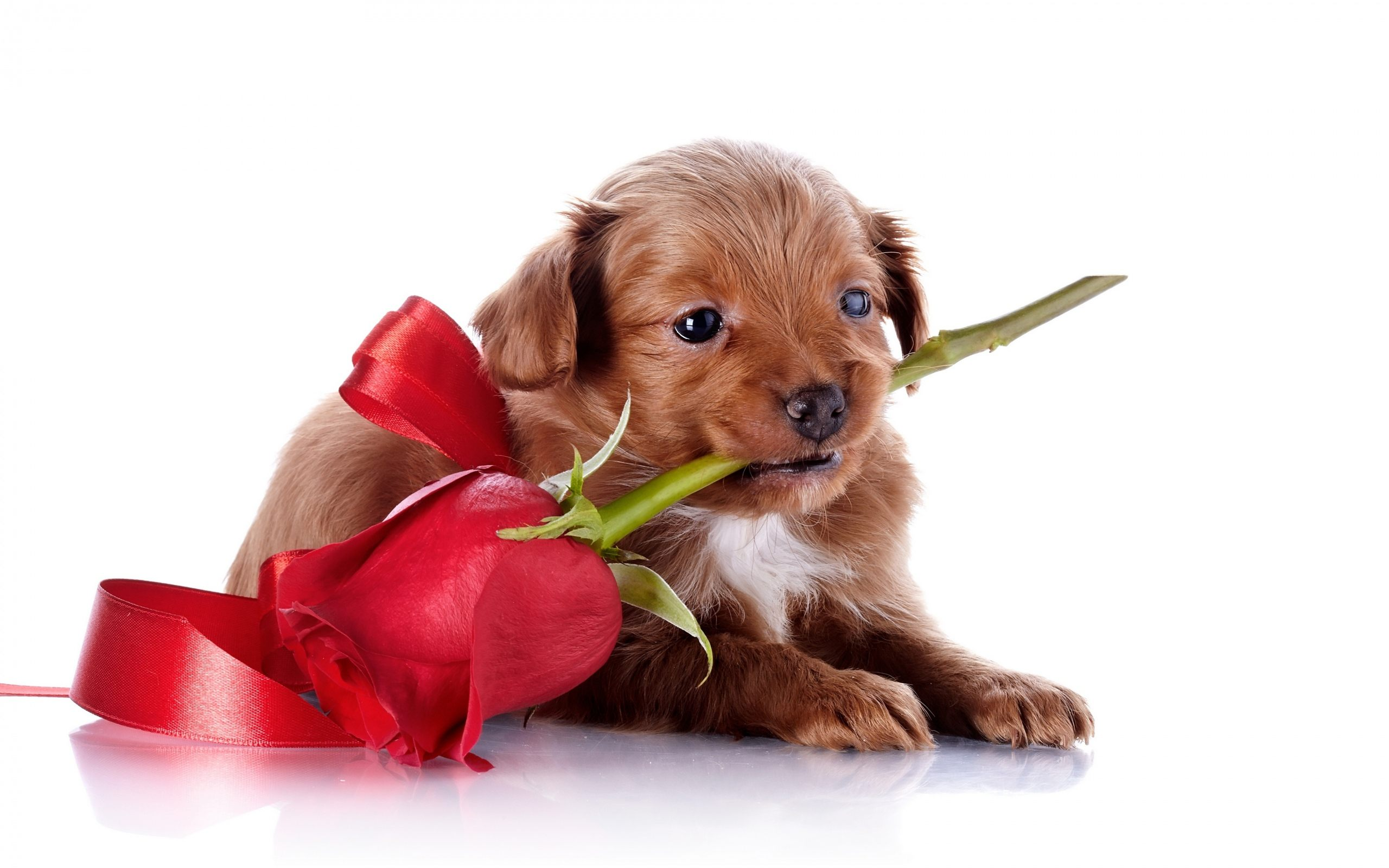 Puppy Love Cute Backgrounds With Wallpaper High Quality - Cute Puppy Valentines , HD Wallpaper & Backgrounds
