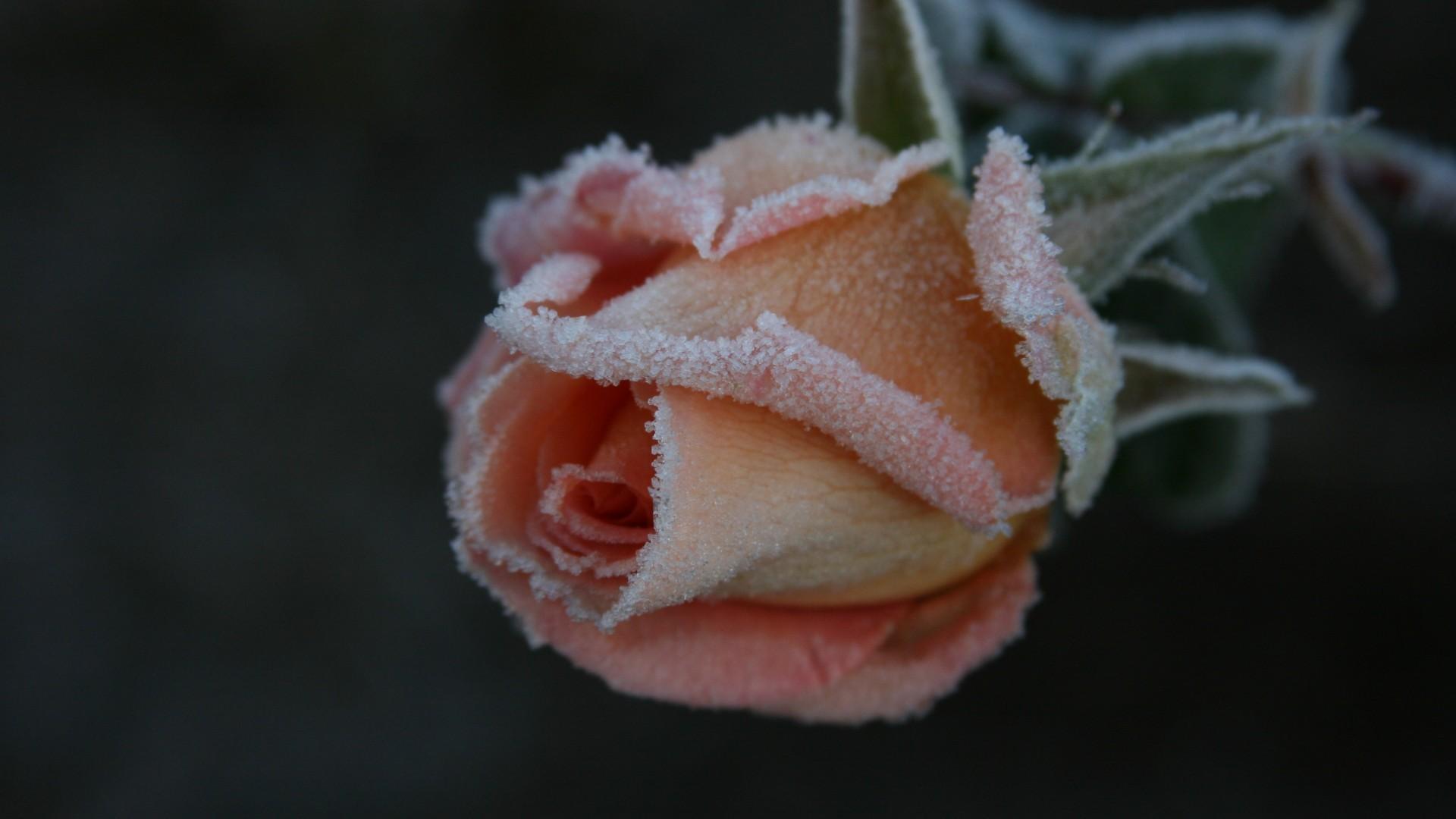 Frozen Frost Snow Rose Winter Flower Wallpapers Hd Frozen