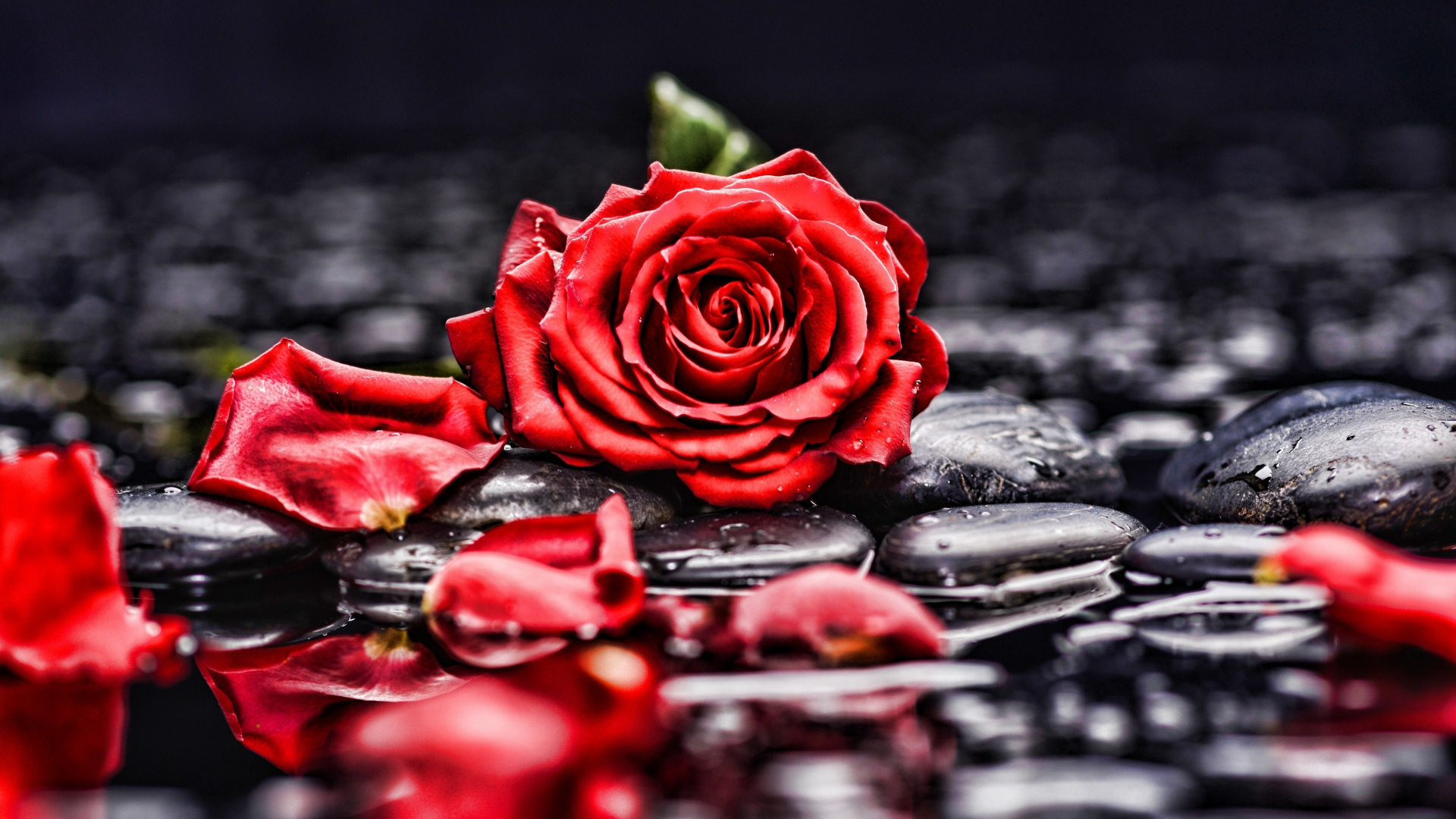 Pebbles Rocks Red Rose Blur Portrait Wallpaper Black White And Red Rose Painted Flower Print 848684 Hd Wallpaper Backgrounds Download