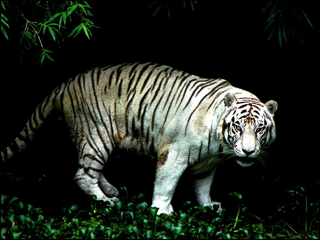 Hunter Stalker Night Cat Power Tiger Kitten Pictures - White Tiger In Jungle , HD Wallpaper & Backgrounds